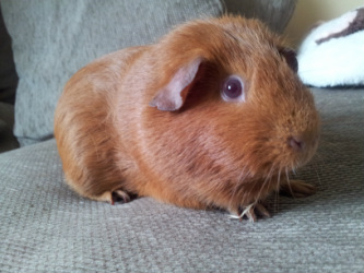 Colours and breeds welcome to ansome cavies the american or english cavy is the most common breed of guinea pig as well as one of the oldest the hair is short smooth straight and sleek sciox Gallery